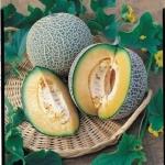 OV01 เมล่อน Melon - Blenheim Orange 8 เมล็ด