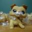 สุนัข Collie สีน้ำตาลทูโทน #2452 thumbnail 1