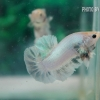 ปลากัดครีปสั้น - Fancy Halfmoon Plakats02