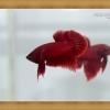 ปลากัดครีบสั้น - Halfmoon Plakats SUPER RED5