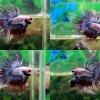 (ขายแล้วครับ)ปลากัดครีบยาวหางมงกุฏ-Crowntails Fancy