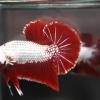 ปลากัดคัดเกรดครีบสั้น - Halfmoon Plakad Red Dragon(มังกรแดง) Premium Quality Grade AAA+