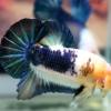 ปลากัดคัดเกรดครีบสั้น - Halfmoon Plakad Over Tails BlueWhite Colors Premium Quality Grade AAA+
