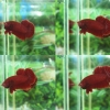 """(ขายแล้วครับ)""""คัดเกรด""""ปลากัดครีบสั้น-Halfmoon Plakats Super Red#1 Grade B+"""