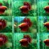 (ขายแล้วครับ)ปลากัดครีบยาวหางมงกุฎ-Crowntails Red
