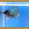 ปลากัดครีบสั้นสองหาง - Fancy Double Tails