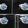 (ขายแล้วครับ)ปลากัดครีบสั้น - Halfmoon Plakats Double Tail Fancy