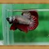 ปลากัดครีบสั้น - Fancy Halfmoon Plakats