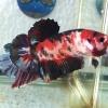 ปลากัดยักษ์คัดเกรดครีบสั้น - Giant Halfmoon Plakad Red koi Galaxy Quality Grade