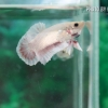 (ขายแล้วครับ)ปลากัดครีปสั้น - Fancy Halfmoon Plakats01