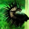 (ขายแล้วครับ)ปลากัดครีบยาวหางมงกุฎ-Crowntails Black Copper Quality Grade