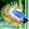 ปลากัดครีบยาวหางมงกุฎ-Crowntails05