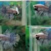 (ขายแล้วครับ)ตอนรับเทศกาล สงกรานต์ ปลากัดครีบยาวหางมงกุฏ-Crowntails Fancy