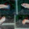 """(ขายแล้วครับ)ตัวเมียสีแดงลอก""""คัดเกรด""""ปลากัดครีบสั้น-Halfmoon Plakats Grade A"""