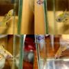 """(ขายแล้วครับ)""""คัดเกรด""""ปลากัดครีบสั้นตัวเมีย-Halfmoon Plakats Fancy Yellow Koi"""