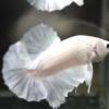 ปลากัดคัดเกรดครีบสั้น - Halfmoon Plakad White Platinum Premium Quality Grade AAA+
