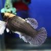 ปลากัดคัดเกรดครีบสั้นเพศเมีย - Female Halfmoon Plakad BigEar Copper Quality Grade