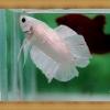 ปลากัดครีบสั้นสองหาง - Halfmoon Plakats Double Tails