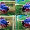 (ขายแล้วครับ)ปลากัดครีบยาวหางมงกุฏ-Crowntails Thailand