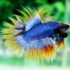 (ขายแล้วครับ)ปลากัดครีบยาวหางมงกุฎ-Crowntails03