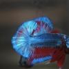 ปลากัดคัดเกรดครีบสั้น - Halfmoon Plakad Fancy Dragon(Red Blue) Premium Quality Grade AAA+