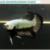 """""""คัดเกรด""""ปลากัดครีบสั้น-Halfmoon Plakats Black Dragon"""
