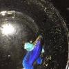 ปลากัดคัดเกรดครีบสั้นหูช้างเพศเมีย - Female Halfmoon Plakad Bigear Lavender Quality Grade