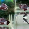 """(ขายแล้วครับ)""""คัดเกรด""""ปลากัดครีบสั้นหูช้าง-Halfmoon Plakats Big Ear#1 Lavender"""
