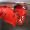 ปลากัดคัดเกรดครีบสั้น - Halfmoon Plakad Fancy Red Devil Premium Quality Grade AAA+