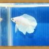 (ขายแล้วครับ)ปลากัดครีบสั้นสองหาง - Double Tails