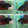 """(ขายแล้วครับ)""""คัดเกรด""""ปลากัดยักษ์ครีบสั้น-Giant Fancy Black and Red"""