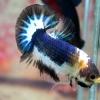 ปลากัดคัดเกรดครีบสั้น - Halfmoon Plakad Over Tails BlackBlue White Premium Quality Grade AAA+