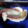 ปลากัดคัดเกรดครีบสั้นเพศเมีย - Female Halfmoon Plakad BigEar Lavender Quality Grade