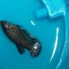 ปลากัดเพศเมีย - Female Halfmoon Plakad Copper