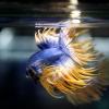 เพศผู้ปลากัดครีบยาว หางมงกุฏ ลายธงชาติ - Male CrownTails Premium Quality Grade