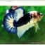 Hi - Premium Grade AAA+ คัดเกรดปลากัดครีบสั้น-Over Tails Halfmoon Plakad Fancy Blue Marble thumbnail 6