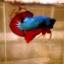 """(ขายแล้วครับ)""""คัดเกรด""""ปลากัดครีบสั้น-Halfmoon Plakats Fancy Dragon Grren Red เกรดพ่อพันธุ์ thumbnail 3"""