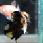 """(ขายแล้วครับ)""""คัดเกรด""""ปลากัดครีบสั้น-Halfmoon Plakats Fancy Yellow Black Koi thumbnail 4"""