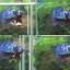 """(ขายแล้วครับ)""""คัดเกรด""""ปลากัดครีบสั้น-Halfmoon Plakats Super Fancy thumbnail 1"""