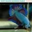 """(ขายแล้วครับ)""""คัดเกรด""""ปลากัดครีบสั้น-Halfmoon Plakats Fancy Dragon thumbnail 4"""