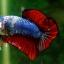 (ขายแล้วครับ)ปลากัดครีบสั้น-Halfmoon Plakats Fancy Dragon thumbnail 3