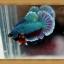 ปลากัดครีบสั้น Halfmoon Plakats thumbnail 4