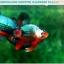 """(ขายแล้วครับ)""""คัดเกรดประกวด""""ปลากัดครีบสั้น-Over Halfmoon Plakats Fancy Dragon Green Orange Monster Quality Grade thumbnail 13"""