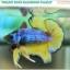 """""""คัดเกรด""""ปลากัดครีบสั้น-Halfmoon Plakats Fancy Green Mustard Grade A thumbnail 2"""