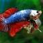 (ขายแล้วครับ)ปลากัดครีบสั้น-Halfmoon Plakats Fancy Dragon thumbnail 5