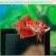 ปลากัดครีบสั้น-Halfmoon Plakat Fancy Red Koi thumbnail 2
