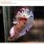 คัดเกรดปลากัดครีบสั้น-Halfmoon Plakat Koi Ice Fancy thumbnail 2