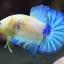 คัดเกรดปลากัดครีบสั้น-Halfmoon Plakad Fancy Marble Hi Quality Grade thumbnail 1