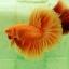 """""""คัดเกรด""""ปลากัดครีบยาว-Halfmoon Super Orange thumbnail 5"""