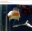 คัดเกรดปลากัดครีบสั้น-Halfmoon Plakat Gold Dragon Quality Grade thumbnail 5